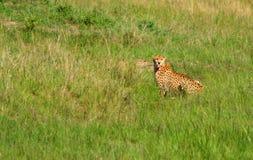 Ghepardo africano selvaggio Immagini Stock Libere da Diritti