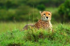 Ghepardo africano selvaggio Fotografia Stock Libera da Diritti
