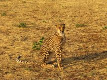 Ghepardo africano selvaggio Fotografie Stock