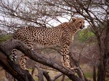 Ghepardo in albero Immagini Stock Libere da Diritti