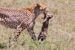 Ghepardo che cammina con la lepre catturata del capo Fotografie Stock Libere da Diritti