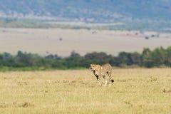 Ghepardo che cammina sulla savanna Fotografie Stock Libere da Diritti