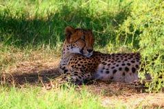 Ghepardo che dorme sotto l'albero Fotografie Stock Libere da Diritti