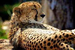 Ghepardo che fa un sonnellino vicino all'albero Fotografia Stock