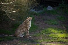 Ghepardo che guarda con prudenza Animale felino veloce Immagine Stock Libera da Diritti