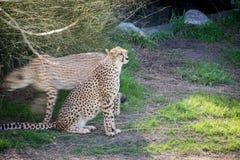 Ghepardo che guarda con prudenza Animale felino veloce Moto e movimenti Fotografia Stock Libera da Diritti