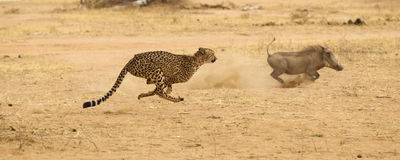 Ghepardo che insegue warthog fotografia stock