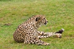Ghepardo che riposa sull'erba immagini stock