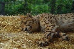 Ghepardo che riposa in uno zoo Immagini Stock Libere da Diritti