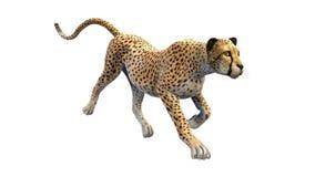 Ghepardo che rubacchia su sulla preda, animale su bianco Fotografia Stock Libera da Diritti