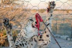 Ghepardo che si alimenta con la carne rossa sul bastone tramite il recinto della recinzione sull'azienda agricola del gioco in Na immagini stock