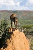 Ghepardo che si leva in piedi sul monticello della termite Immagine Stock