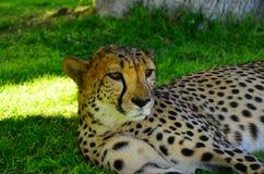 Ghepardo che si rilassa sull'erba Fotografia Stock
