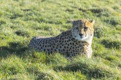 Ghepardo che si siede sull'erba verde immagini stock