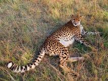 Ghepardo che si trova nell'erba Fotografia Stock Libera da Diritti