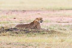 Ghepardo che si trova nell'erba Fotografie Stock