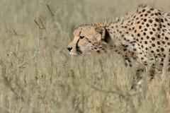Ghepardo che vaga in cerca di preda appena prima essere in corsa per la caccia Immagine Stock