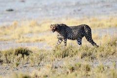 Ghepardo che vaga in cerca di preda nel sottobosco Immagini Stock