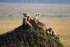 Ghepardo con 5 cubs Immagine Stock