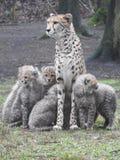 Ghepardo con i suoi cuccioli immagine stock