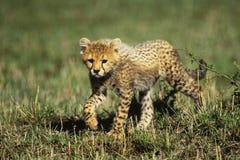 Ghepardo Cub fotografie stock