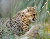 Ghepardo Cub Fotografia Stock Libera da Diritti