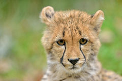 Ghepardo Cub Fotografia Stock