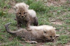 Ghepardo Cubs fotografia stock
