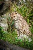 Ghepardo curioso che guarda con prudenza Animale felino veloce Immagine Stock Libera da Diritti