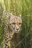 Ghepardo curioso che guarda con prudenza Animale felino veloce Immagini Stock