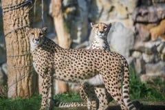 Ghepardo curioso che guarda con prudenza Animale felino veloce Fotografia Stock