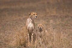 Ghepardo della madre con i cubs Immagini Stock