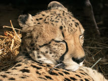 ghepardo di sonno immagini stock libere da diritti