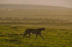Ghepardo di tramonto Fotografia Stock