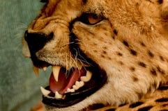 Ghepardo difensivo fotografia stock libera da diritti