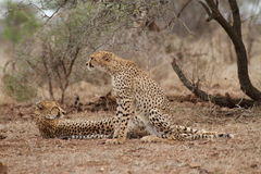 Ghepardo ed i suoi 2 cuccioli che riposano nel bushveld Fotografia Stock