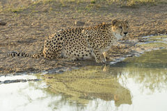 Ghepardo femminile (jubatus) di acinonyx Sudafrica bevente Fotografia Stock