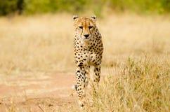 Ghepardo. Il Sudafrica, parco nazionale di Kruger Fotografie Stock Libere da Diritti