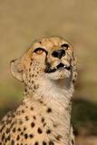 Ghepardo (jubatus del Acinonyx) Fotografia Stock