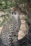 Ghepardo, jubatus del Acinonyx, nel cittadino di Serengeti Fotografia Stock Libera da Diritti