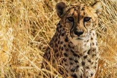 Ghepardo (jubatus del Acinonyx) nella savanna Immagine Stock