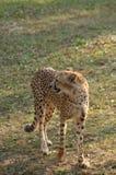 Ghepardo (jubatus di acinonyx) fotografie stock libere da diritti