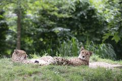 Ghepardo, jubatus di acinonyx, due ghepardi che risiedono nell'erba Fotografia Stock Libera da Diritti
