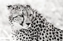 Ghepardo a Mara masai Fotografia Stock Libera da Diritti