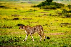 Ghepardo in Masai Mara Immagini Stock