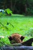Ghepardo nascosto Fotografie Stock