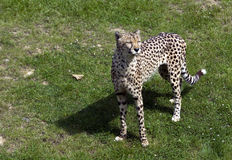 Ghepardo nel giardino zoologico Immagine Stock Libera da Diritti