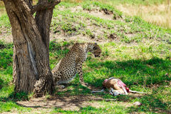 Ghepardo nel Serengeti Immagine Stock Libera da Diritti