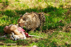 Ghepardo nel Serengeti Fotografia Stock