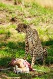 Ghepardo nel Serengeti Fotografia Stock Libera da Diritti